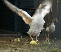 Het kleine grut !! Explore # 319 (ditmaliepaard) Tags: goose gans explore kuikens 319 april2009