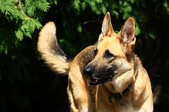Happy Dog (yelovet00) Tags: dog scout germanshepherd gsd thelittledoglaughed