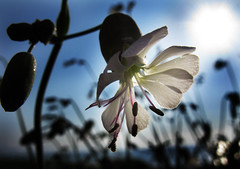 IMG_0323 (alia99) Tags: plants flower nature controluce