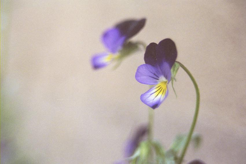 Mini Violets 5