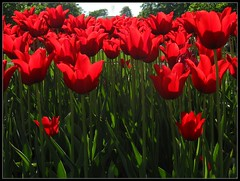 Tulips (ewewlo) Tags: flower europe poland warsaw canondigitalixus870is
