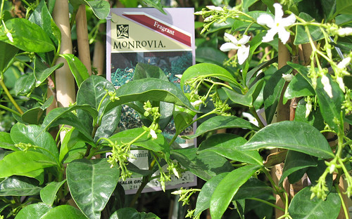 star jasmine from monrovia growers