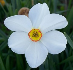 "The ""Poet's Daffodil"" (summerbloomz etc) Tags: flowers red white flower yellow spring may explore daffodil 2009 redring narcissuspoeticus poetsdaffodil citrit awesomeblossoms simplythebest~flowers vosplusbellesphotos centerdetail"