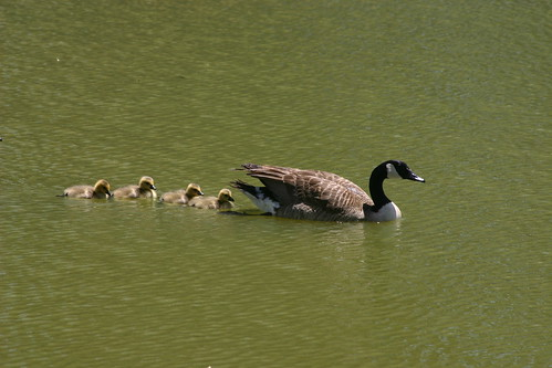 The goslings follow momma in the lake