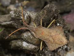 Syromastes rhombeus m (terraincognita96) Tags: germany nordrheinwestfalen coreidae northrhinewestphalia hemiptera heteroptera rhombeus syromastes