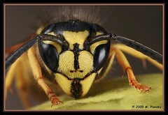 Wasp Face (mplonsky) Tags: friends macro nature animal yellow closeup bug insect eyes wasp fv5 bee jacket fv10 blueribbonwinner plonsky specanimal bestofbestnature theunforgettablepictures buzznbugz macromarvels betterthangood macrolife daarklands