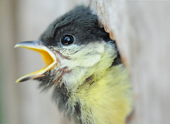 jonge Koolmees - Parus major (Frans Persoon) Tags: food macro cute bird nature birds animal animals yellow geotagged photography prime major interesting wings nikon dof open close shot bokeh eating spirit young natuur fixed mm 60mm nikkor length distillery dieren soe 60 breathtaking parusmajor vogel outpost jonge koolmees parus potofgold focal nikkor60mm snavel supershot yellowtit bej fineartphotos specanimal fixedfocallength abigfave platinumphoto anawesomeshot colorphotoaward avianexcellence ysplix overtheexcellence natureoutpost nikond300 goldstaraward platinumsuperstar spiritofphotography remarcable flickrlovers breathtakinggoldaward 100comment ubej dragondaggerphoto flickraward flickrunitedaward birdperfect dwcffdof