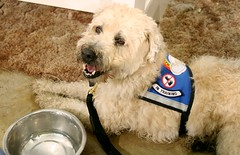 Happy to be at training (Transguyjay) Tags: dog rural training jay may frida trainers il wheatenterrier servicedog 2009 wheaten servicedogintraining rescuedog softcoatedwheatenterrier dogtraining rescueddog brownstown darnfarranch