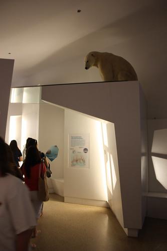 Polar Bear lingering at the National Museum of Natural History