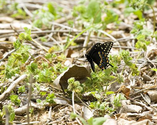 BlackSwallowtailButterflyEmiquon05242009JGWardIMG_2064