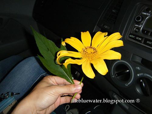 Mega Chrysanthemum