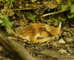 Fawn (Joan M) Tags: nature illinois wildlife deer fawn