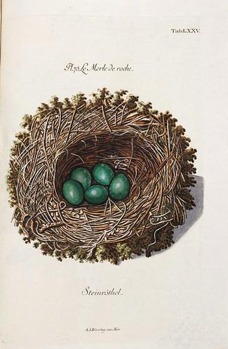 011-Nido del Mirlo de Roca-Colección de nidos de aves 1772