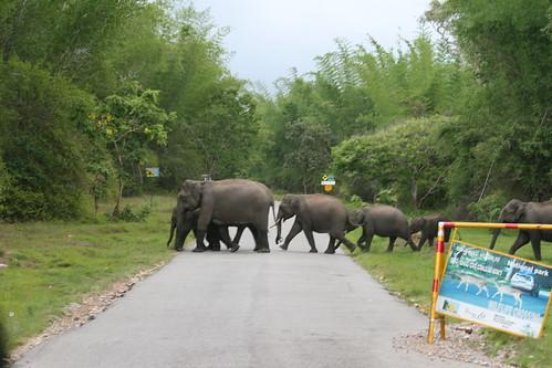Elephants-roadcrossing