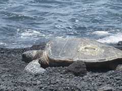 Green turtle, Punalu'u Beach
