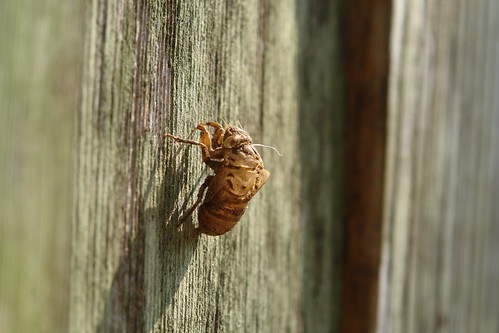 Cicada Skin On Our Fence