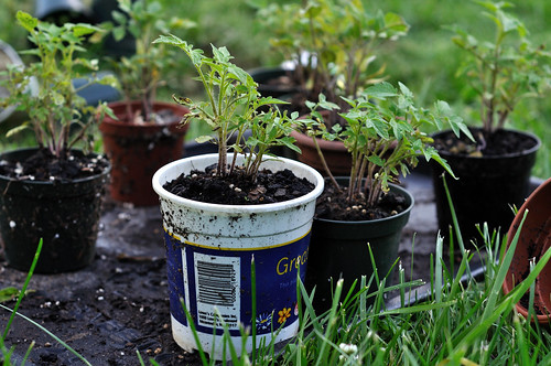 Tomatoes Pre-transplant