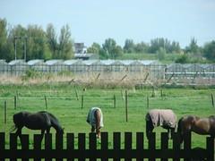 Paarden (indigo_jones) Tags: horses signs holland nature netherlands field fence rotterdam highway scenery utrecht industrial driving traffic nederland roads blankets veld greenhouses a20 paarden