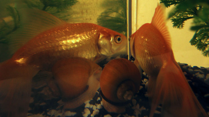 Goldfish and snail reflections