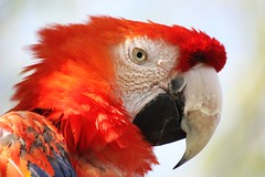 Ara (   flickrsprotte  ) Tags: birds animals zoo tierpark papagei ara tier dieb gettorf vanagram flickrsprotte ohrringklauer