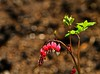 Hearts! (Ken Yuel Photography) Tags: flowers beauty hearts bleedinghearts leomolgardens digitalagent kenyuel assiniboineparkwinnipeg