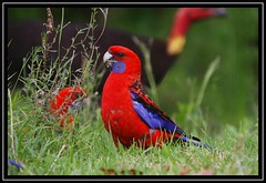 Crimson Rosella, Lamington NP, 3.1.09 (Callocephalon Photography) Tags: red people bird turkey feeding parrot australia busy qld oreillys rosella guesthouse stations hustle lamingtonnp crimsonrosella australianbrushturkey platycercuselegans specanimal seqld sigma50500mmf463 aplusphoto canoneos40d vosplusbellesphotos