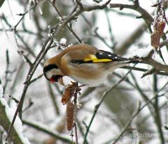 Lišček (natalija2006) Tags: bird nature goldfinch slovenia natalija birdwatcher narava birdphoto ptič golddragon flickraward overtheexcellence lišček npisec