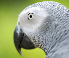 African Grey Parrot in Close-Up ( DocBudie) Tags: bird eye beautiful grey parrot malaysia kualalumpur kl mata burung cantik klbirdpark abuabu eyegaze burungkakaktua africangreayparrot kakaktuaafrika lirikanmata mataburung