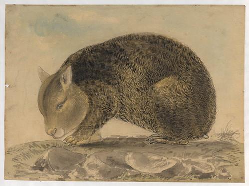 Wombat - Gerard Krefft, c. 1860 (slnsw)