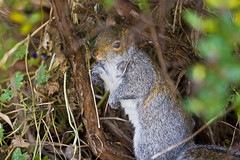 we will meet under the tree at noon (Pezski) Tags: park wild animal mammal grey rodent sheffield british squirel hillsborough