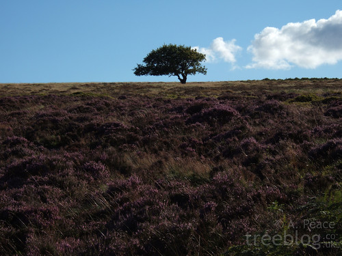 The Lonely Oak in summer.