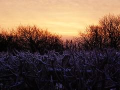 Hedge and Sunrise (basswulf) Tags: uk morning trees winter wallpaper england orange sunrise lenstagged frost purple gimp frosty devon hedge blended blend hedgerow digitaldarkroom 200901 d40 exposureblend favpics camerasetting:aperture=f56 vivitar90mmf25macro permissions:licence=c 20090110 2600x1950 favpics2009 favpic2009