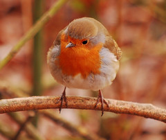 Robin (ashley.gill15) Tags: uk friends england nikon surrey guildford naturesfinest d40 inspiredbylove beautifulexpression mywinners nikond40 aplusphoto avianexcellence mycameraneverlies ysplix platinumheartaward excapture flickrestrellas thebestofday natureselegantshots naturethroughthelens flickrlovers alittlebeauty flickraward superstarthebest