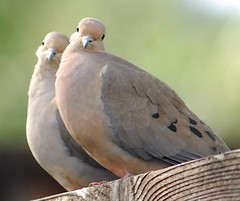 Posers (buffalo_jbs01) Tags: cute love birds wonderful pose nikon dove couples d200 lovely mate cutecouple doves mfcc cotcmostinteresting mywinners avianexcellence ysplix thechallengefactory goldenheartaward gha6 100commentgroup thewonderfulworldofbirds bestoflove♥award