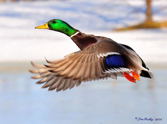 Colorful Drake Mallard (JRIDLEY1) Tags: blue winter snow tree ice naturesfinest 80400vr blueribbonwinner mallarddrake supershot specanimal zenfolio golddragon anawesomeshot ultimateshot theunforgettablepictures colourartaward nikond3 jridley1 jimridley photocontesttnc09 dailynaturetnc09 httpjimridleyzenfoliocom photocontesttnc10 lifetnc10 photocontesttnc11 photocontesttnc12