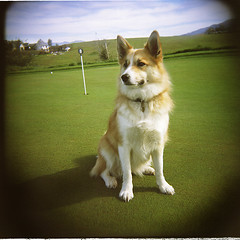 dog.flickr (Starrpic) Tags: dog holga bluesky golfcourse softfocus cutedog mansbestfriend bordercollie paws collar vignette rollinghills alert protector greengrass alertdog saturatedcolor squarepicture loyaldog 8thhole orangewhitedog carrieheather