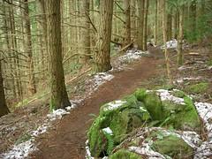branchy doug fir and trail