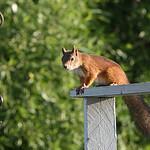 Squirrel 11.08.2007