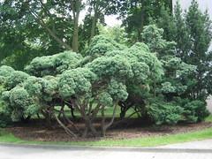 Jałowiec - Juniperus