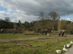 Elephants (CoasterMadMatt) Tags: park uk elephant west animal animals out wildlife days safari leisure elephants worcestershire 2009 westmidlands midland westmidlandsafaripark elephantvalley
