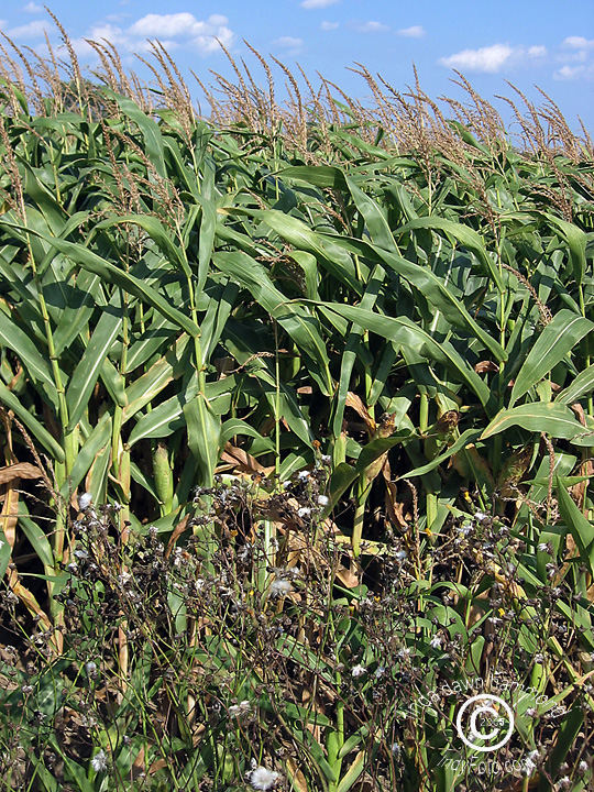 Is this Pioneer GMO Cornfield Killing Monarch Butterflies?