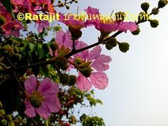 ดอกอินทนินบก Sakura in backward