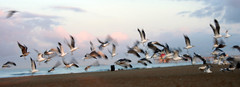Huntington Beach: Gulls (John-Morgan) Tags: california blue party orange usa tree bird beach silhouette canon fly seagull gull huntington wideangle palm seashore johnmorgan