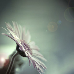 Magical unicorn ([ r  c e y t  y ] {I brke for bokeh}) Tags: blue gerbera unicorn magical sfd zzzzzzzzzzzzzzz bluemonday vsfd mmmyay rightlyso happybluemonday bokehholicsanonymous dheml happymondyay idncwhetheryouagreebtw theunicorncanfightmefortheflowerwhenitcomesback herbertsprogeny wassoordered noitsaunicorn sleepingnao