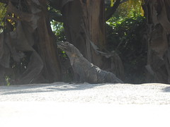 Iguana by the pool!
