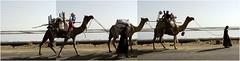 rabari nomads, kutch panorama