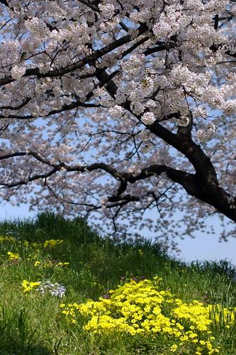 SAKURA (cherry-blossom)