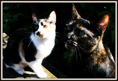 cats in sunshine (bee wolf ray) Tags: cats pets kitties tortoiseshellcat critters cutecats calicocat picnik kittyschoice canons5is
