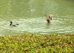 Ducks (habitatgirl) Tags: lake green birds dallas myoffice