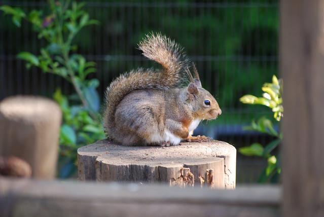 ニホンリス(Japanese Squirrel)